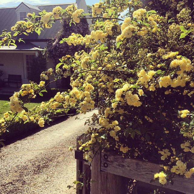 Banksia rose at the front gate has gone MAD!